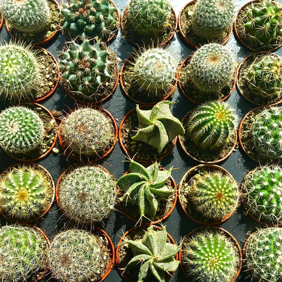 assorted cacti at Jack Frost garden center